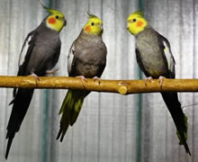 animal support cockatiels