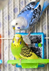 animal support parakeets