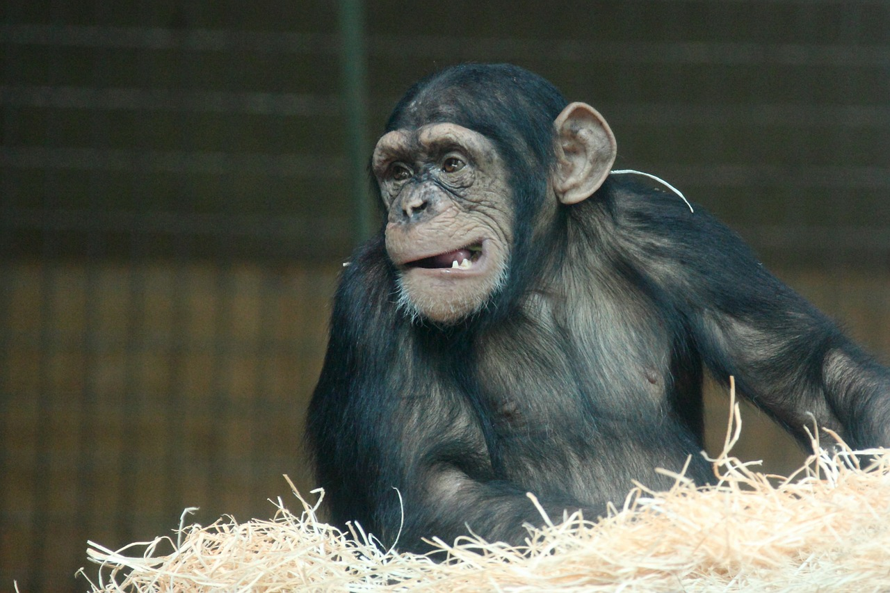 New York debats the right of chimps.